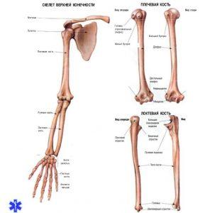Анатомические особенности костей верхней конечности
