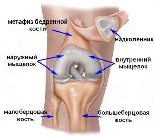 Анатомия мыщелок берцовой кости