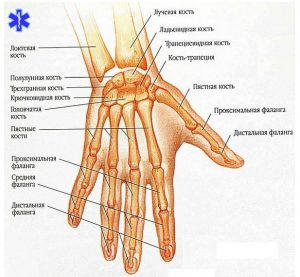 Строение кисти руки