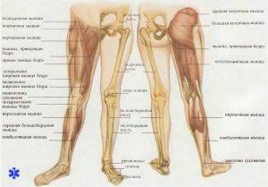 Анатомическое строение нижних конечностей