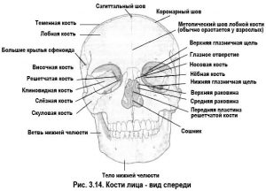 Кости лица, вид спереди
