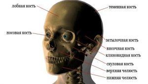 Расположение костей лицевого черепа