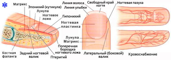 Схема строение ногтя