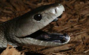 Характерной чертой змеи является абсолютно черная пасть