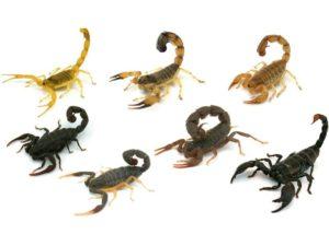Основные виды скорпионов