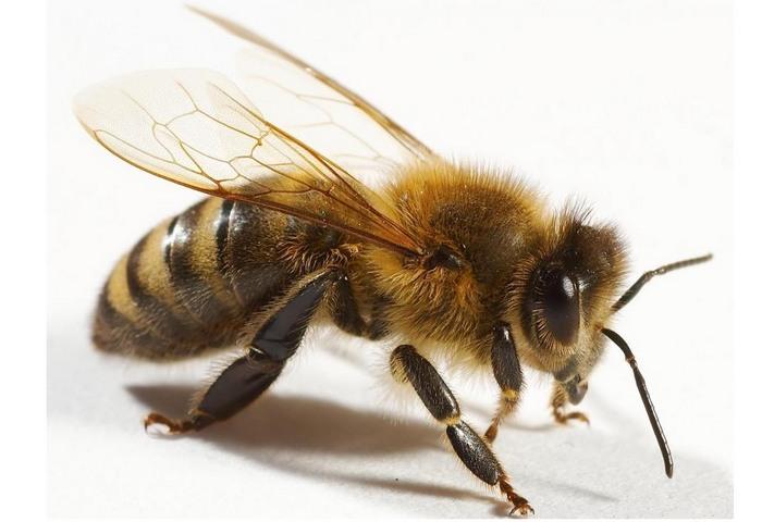 Особенности укуса пчелы