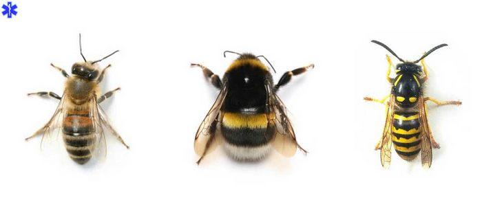 Перепончатокрылые: осы, пчелы, шмели