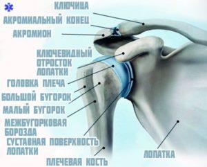 Строение плеча человека