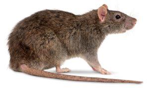 Osobennosti ukusa krysy