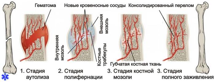 Регенерация тканей