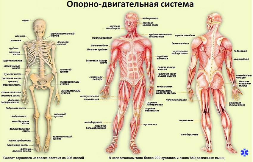 Опорно-двигательная система человекаОпорно-двигательная система человека