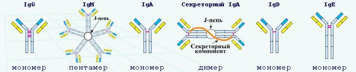 Пять классов антител